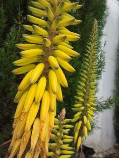 Flores amarillas del alore vera
