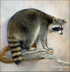 Amazing raccoon taxidermy from Wildlife Artist