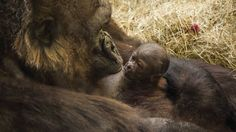 Busch Gardens® Tampa has welcomed another endangered western lowland gorilla. The female gorilla was born on Feb. and is being cared for by mother Mary. Orlando Florida, Florida Theme Parks, Central Florida, Margay Cat, Female Gorilla, Busch Gardens Tampa Bay, Baby Gorillas, Seaworld Orlando, Park Pictures