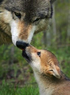 Mother wolf + baby pup