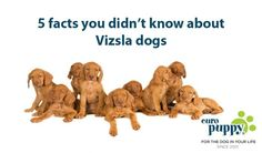 Fact #1 In a way the Vizsla has more in common with cats than other dogs…