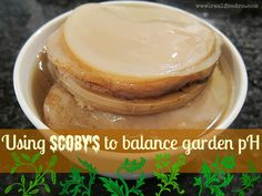 Using SCOBY's to balance garden pH - Real Food RN