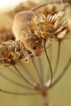 Harvest Mouse (by Daniel Trim)