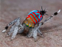 Two new types of peacock spider have been discovered in Queensland.