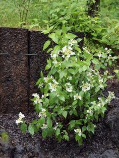 軽井沢の林の中ではヤマアジサイの花が満開。奇麗な白花が、暗い林床を明るく照らします。でも、庭に植えるなら、周りの林とは少し変わったヤマアジサイがいいかも。...