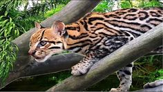 The ocelot (Leopardus pardalis), also known as the dwarf leopard, is a wild cat distributed extensively within South America, including the islands of Trinidad and Margarita, Central America, and Mexico. North of Mexico, it is found regularly only in the extreme southern part of Texas, although there are rare sightings in southern Arizona.