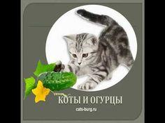 КОТЫ И ОГУРЦЫ.Фобия & Страсть/cats and cucumbers