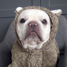 The cutest animal in the kingdom deserves to have an equally cute Koala Fleece Dog Hoodie. Small Dog Breeds, Small Dogs, French Bulldog Clothes, Pet Camera, The Perfect Dog, Dog Wear, Dog Hoodie, Bulldog Puppies, Pet Supplies