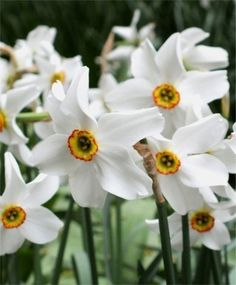 Narcissus Pheasant's Eye - Poeticus Narcissi - Narcissi - Flower Bulbs Index