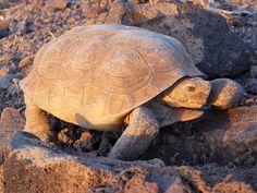 another desert tortoise