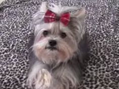 This Adorable Yorkie's Tricks Will Amaze You