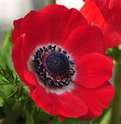 Red anemone flower.