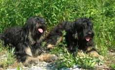 Cão da Serra de Aires or Portuguese Sheep dogs - our is called Doogle and he is the best family dog you could ask for.