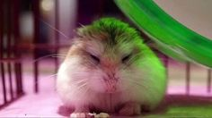 """Types of Hamster Breeds – Although the Expression """"hamster"""" Describes Roughly 24 species of small rodents, that there are only approximately five located in the pet industry. Below is a list of the most common types found as pets. #TypesofHamsterBreeds #hamster"""