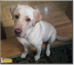 Flynn the Labrador Retriever, the Dog of the Day