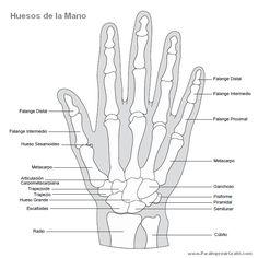Huesos de la Mano, con sus nombres.