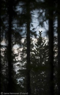 Top spot - Janne Heimonen - Wildlife Photographer of the Year 2011 : Animals in their Environment - Highly commended