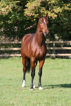 DANTON DU HOUSSOIT ( ET) (UGANO SITTE (ET) x OGANO SITTE(ET)) - Horse Of Belgium