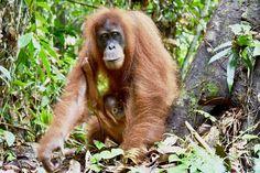 Ganz unerwartete Begegnung... Orang Utan, Animals, Pandas, Baby Cubs, Indonesia, Round Trip, National Forest, Things To Do, Travel Destinations