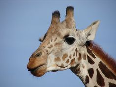 Giraffes are  some of the greatest animals in the African Savannah. As a matter of fact, the tallest and most dangerous giraffes live i...