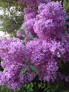 """FLOWERS: Lilacs from the """"Woods"""""""