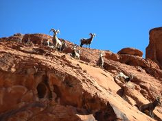 Pink Jeep Tours has offered its award-winning guided tours for over 50 years. Pink Jeep, Big Horn Sheep, Mojave Desert, Rocky Mountain National Park, Dahl, Wild Things, Rocky Mountains, Goats, Las Vegas
