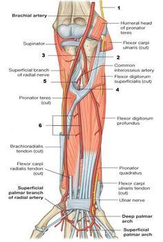 arterial supply of the forearm - بحث Google Forearm Anatomy, Arteries Anatomy, Radial Nerve, Medical, Fitness, Google Search, Inspiring Quotes, Nursing, Education