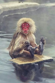 """makaque."" Google search: ""The Japanese macaque (a/k/a Macaca fuscata), also known as the Snow Monkey, is a terrestrial Old World monkey species that is native to Japan. They get their name ""snow monkey"" because they live in areas where snow covers the ground for months each year – no other nonhuman primate is more northern-living, nor lives in a colder climate. Individuals have brown-grey fur, red faces, and short tails. Two subspecies are known. Wikipedia."""