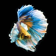 Fish Drawings, Beta Fish Drawing, Beautiful Fish, Pretty Fish, Panda Bebe, Betta Fish Types, Beautiful Sea Creatures, Siamese Fighting Fish, Foto Art