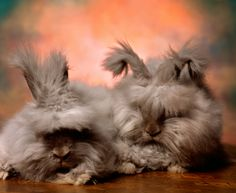 The Cuddly, Fluffy, Surreal World of Angora Show Bunnies