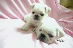 white pugs  --- so sweet