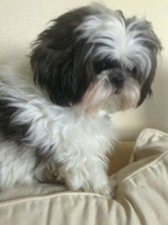Looks just like my old Shih Tzu Harley. I miss him so!