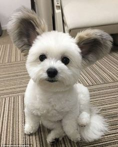 The Cutest Maltese/Papillon Mix Cute Dogs And Puppies, I Love Dogs, Doggies, Teddy Bear Puppies, Cute Baby Animals, Funny Animals, Cute Puppy Pictures, Maltese Dogs, Little Dogs