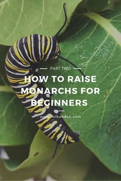 How to Raise Monarchs for Beginners: Experiment Part Two Butterfly Garden Plants, Butterfly Weed, Monarch Butterfly, Butterflies, White Butterfly, Gardening For Beginners, Gardening Tips, Monarch Caterpillar, Raising Bees