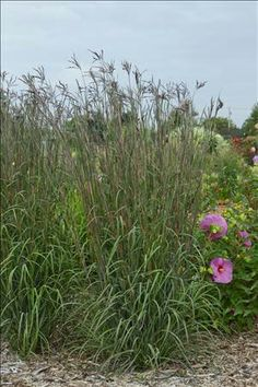 Perennial Resource--Information and Inspiration for Today's Gardeners. Perennial Grasses, Ornamental Grasses, Perennials, Garden Features, Summer Solstice, Native Plants, Deep Purple, Landscape Design, Norway