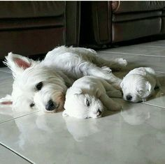Westie mama and babies Westie Puppies, Westies, Cute Puppies, Dogs And Puppies, Doggies, Fox Terriers, Beautiful Dogs, Animals Beautiful, West Highland White Terrier
