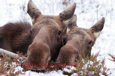 Love the moose!