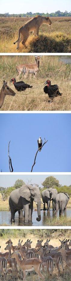 Botswana Safaris to Banoka Bush Camp in the Okavango Delta