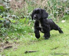 """Obtain fantastic ideas on """"cocker spaniel"""". They are accessible for you on our web site. Sprocker Spaniel Puppies, Black Cocker Spaniel Puppies, American Cocker Spaniel, English Cocker Spaniel, Cocker Spaniel Breeds, Cute Puppies, Cute Dogs, Dogs And Puppies, Shiba Inu"""