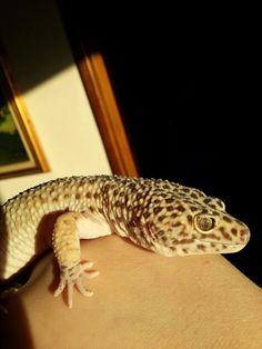 Gray the big leopard gecko :)