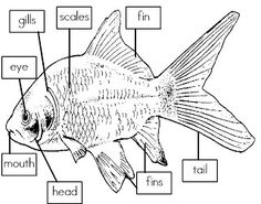 Mrs. I's Class: Label the Parts of a Fish (freebie