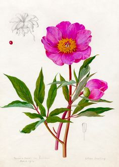 Royal Horticultural Society — Paeonia Russii var. Reverchoni, Snelling, Lilian (1879-1972) (Artist)