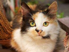 Dreifarbige Katzen: Faszinierende Glücksbringer - Seite 1