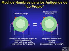 proteínas del complejo mayor de histocompatibilidad (major histocompatibility complex [MHC] proteins) y cada persona porta un juego único en su género