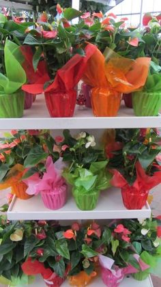 Brightly wrapped Anthurium's! :-D Glebe Garden Centre