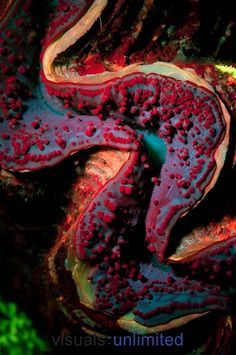 Giant Clam (Tridacna) fluoresces bright red & blue in ultraviolet light at night, Tondoba Bay, Red Sea, Egypt
