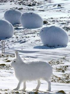 The arctic hare is like a cross between a dog and a bunny