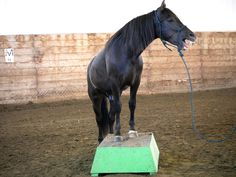Cesar - 2-year-old gelding from Canadian Hay Ranch Cat Farm, Canadian Horse, Black Canadians, Horses For Sale, Ranch, Training, Animals, Guest Ranch, Animales