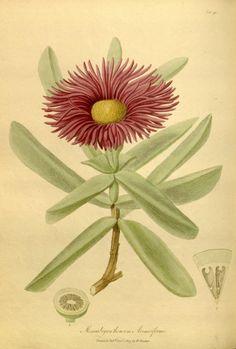 v.1-2 - The paradisus londinensis: - Biodiversity Heritage Library