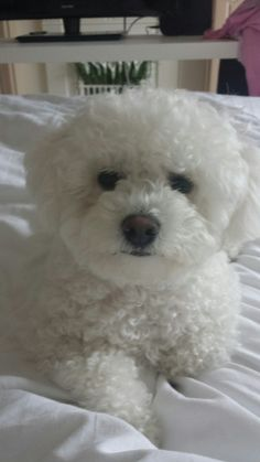 15 Foods Your Bichon Frises Should Never Eat Bichon Dog, Havanese Puppies, Maltese Dogs, Pet Puppy, Cute Puppies, Cute Dogs, Dogs And Puppies, Teacup Chihuahua, Maltipoo